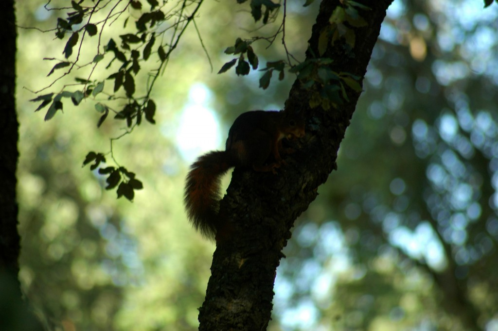 Esquilo num sobreiro